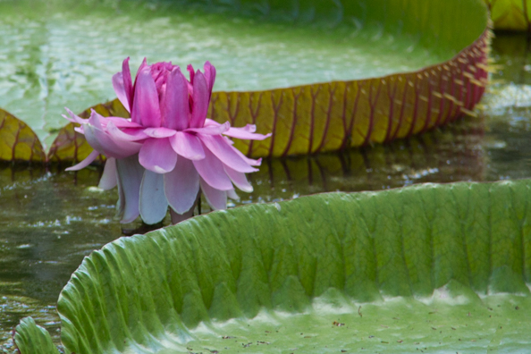 Amazonica Pamplemousses Gardens on Mauritius