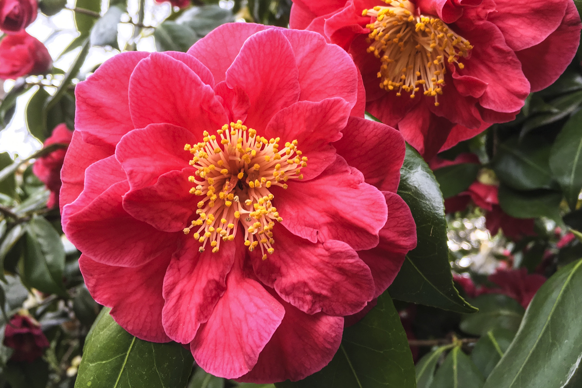 Camellias in Exbury Gardens in the New Forest Hampshire UK6099