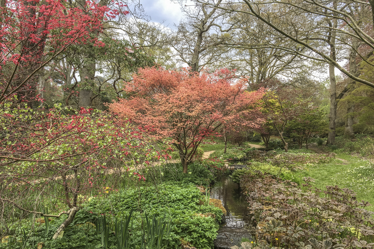 Japanese Maple trees in Exbury Gardens, New Forest, Hampshire, UK  6134